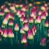 Tulip Abundance