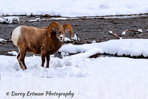 Bighorn sheep II