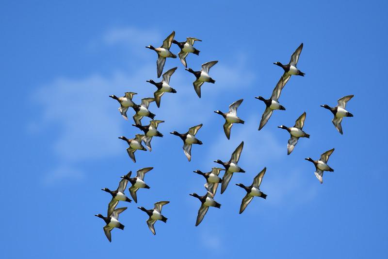 """""""Ring-Necked Ducks In Flight"""""""