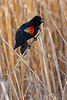 Red-wing Blackbird Singing