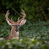 An 8-point Buck seen in Montour County, Pennsylvania.