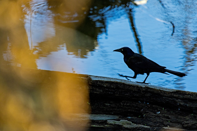 Blackbird Stroll