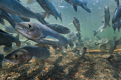 Grayling spawning on a rock bed in a pristine river. Yukon. Canada.