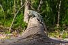 Sunning Green Iguana