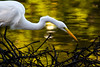Great Egret 4