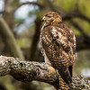 """""""Red-Tailed Hawk Juvenile"""""""