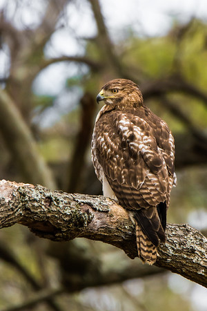 """Red-Tailed Hawk Juvenile"""