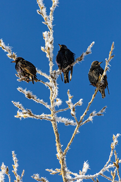 Three Cold Little Birds