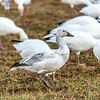 Snow Goose Profile