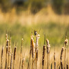 Marsh Wren Hanging Out in Habitat
