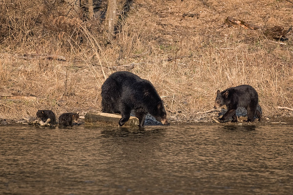 Sow & Cubs