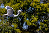 Great Egret Flight 3