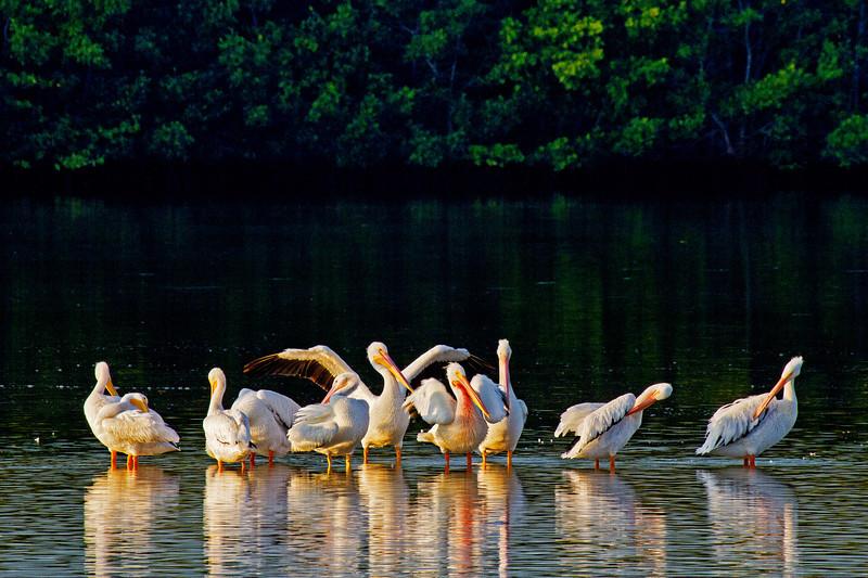Pelican Gathering 1