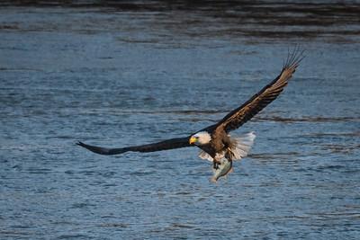 Eagle w-Fish 01-4887
