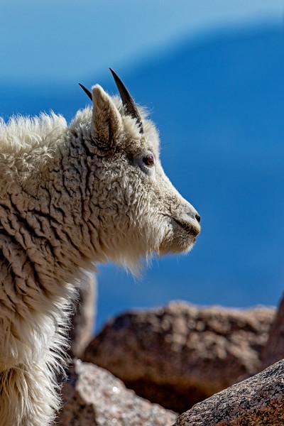 Mt Evans Mountain Goat 2