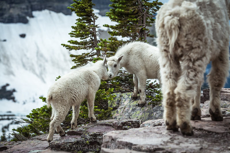 Baby Mountain Goat, Glacier National Park