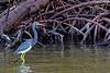 Tricolored Heron Mangrove