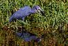 Little Blue Heron Breakfast