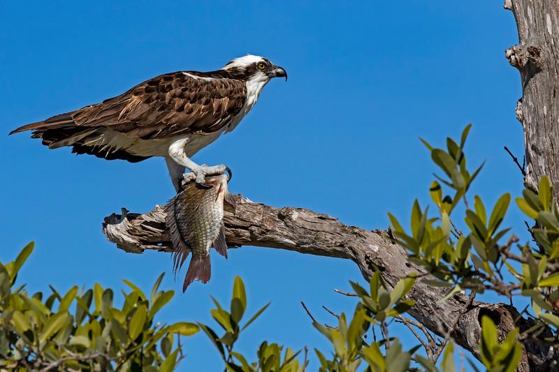 Osprey Big Catch
