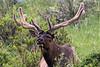 Bull Elk - Horseshoe Park