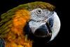 Golden Macaw 1