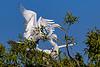 Great Egret Courtship 4