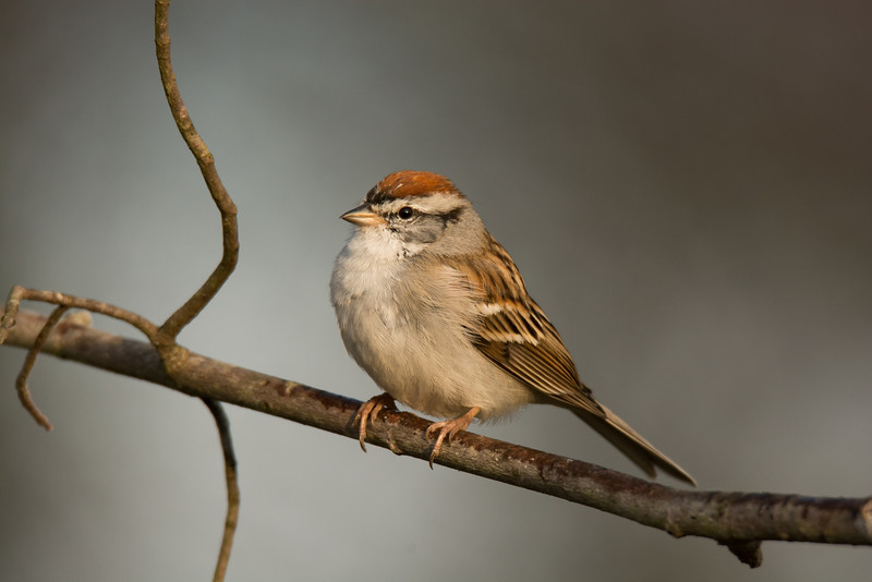 """Chipping Sparrow"""