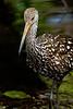 Ibis Juvenile