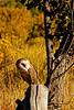 Barn Owl 2