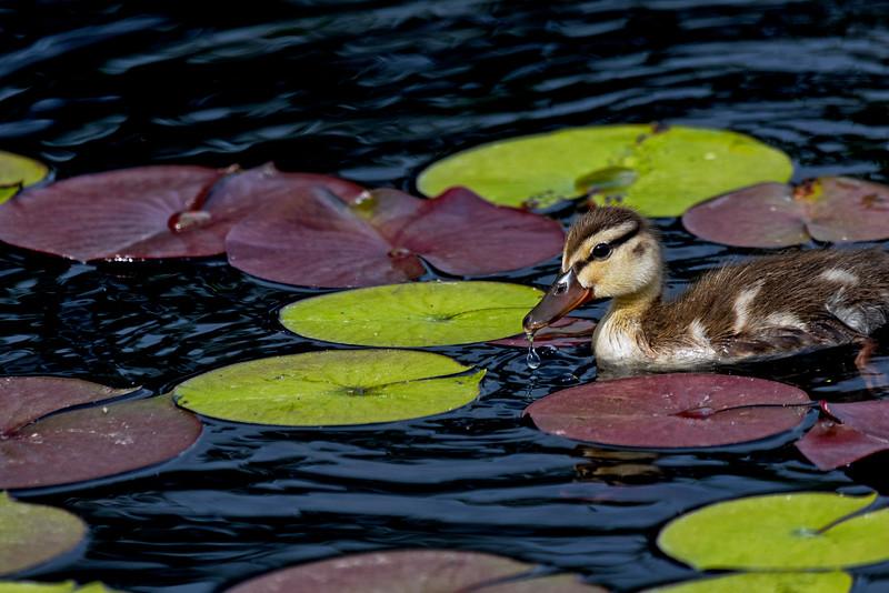 Ducklet Pad