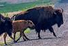Bison Migration 2