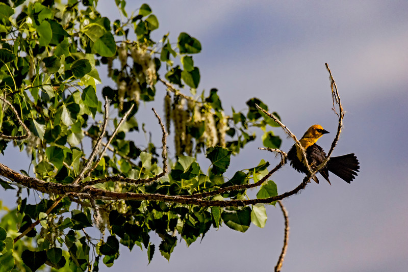 Yellow-headed Blackbird Perch 2