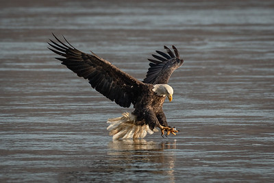 Bald Eagle Fishing on the Susquehanna River in Darlington, Maryland.