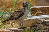 Redtail Hawk Walk 3
