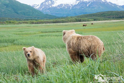 A coastal brown bear sow and cub at Hallo Bay, Alaska
