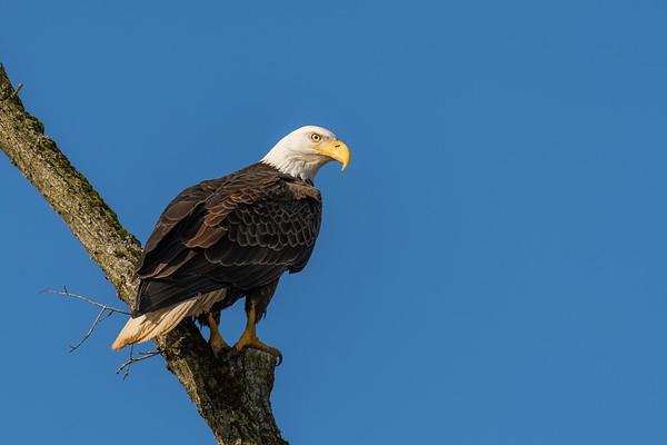 Bald Eagle - Montour County, Pennsylvania