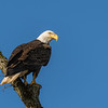Bald Eagle - Montour County, Pennsylvania