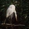 Hunting Great White Heron