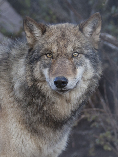 North American Grey Wolf.  Taken at the California Wolf Center.  Amazing place!