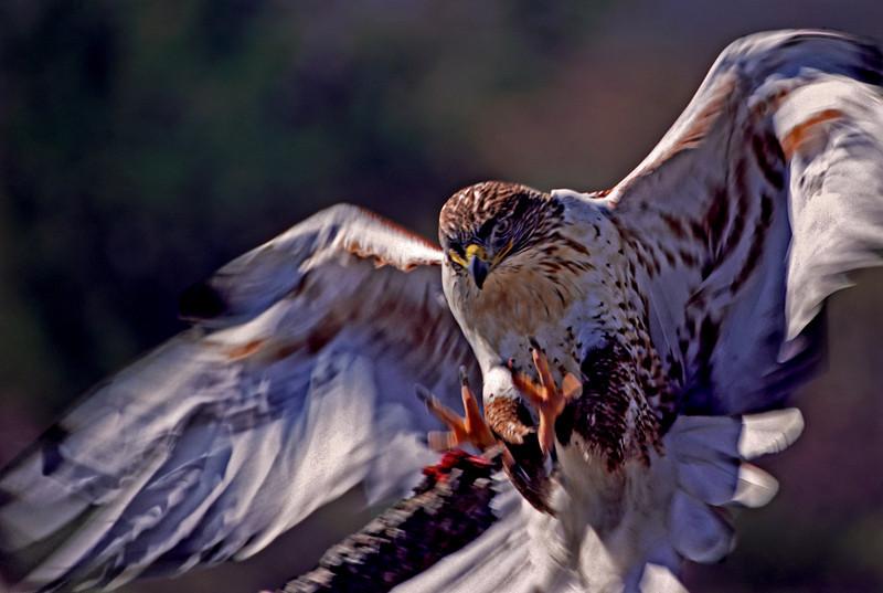 Hawk 1 (2)