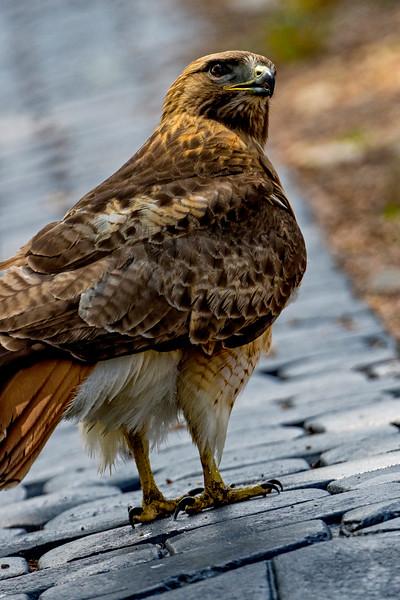 Redtail Hawk Walk 2