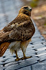Redtail Hawk Walk 2