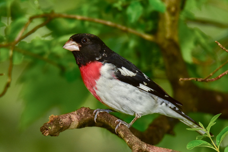 """Rose-Breasted Grosbeak"""