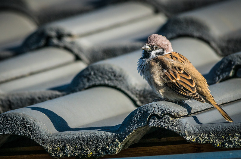 Little Sparrow on a Roof