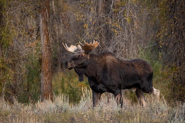 Bull Moose in Grand Teton National Park, Wyoming