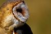 Barn Owl Silhoutte