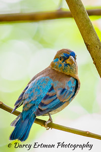 The Indigo Bunting II