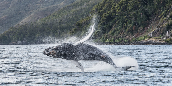 Humpback in Flight - Patagonia