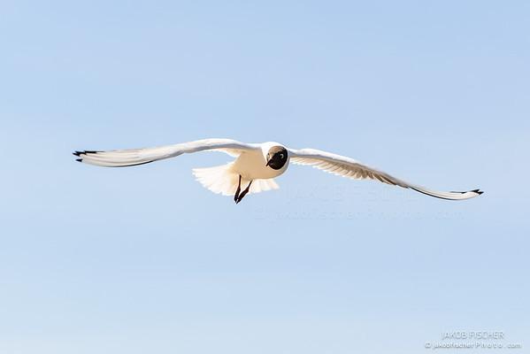 Gull Black headed Gull