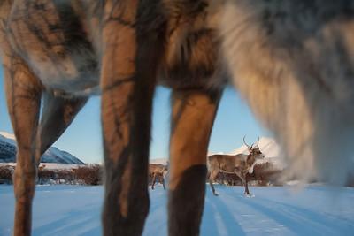 Caribou in the Peel Watershed.